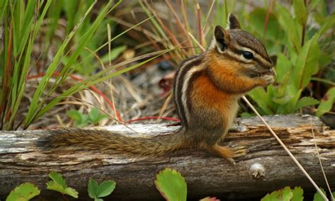 How To Keep Chipmunks Out Of Garden by 4 Ideas For Keeping Chipmunks Out Of Your Garden Smart Tips