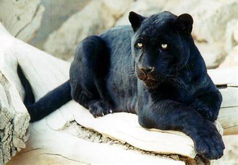 animales la pantera negra un leopardo diferente
