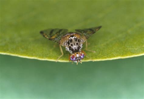 flies fruit flies mediterranean fruit fly agriculture and food