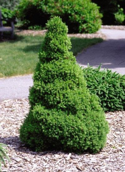 dwarf shrubs evergreen 43 best images about evergreens for containers as a topiary on trees and