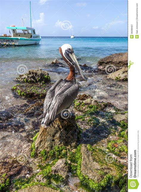 pelican boat curacao pelican and boat royalty free stock photography image