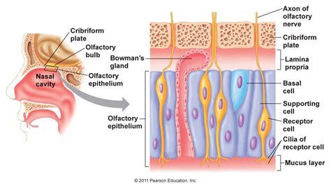 olfactory pathway diagram image gallery olfaction diagram