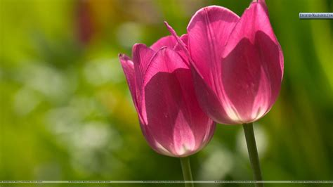 wallpaper pink tulip two pink tulips closeup picture wallpaper