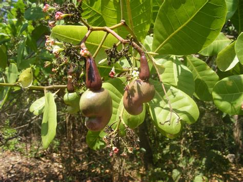 Cashew Nut cashew anacardium occidentale nuts and by products
