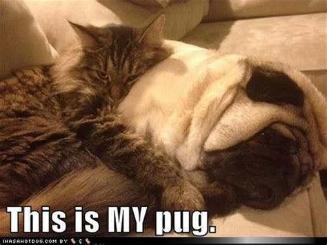 pugs and kittens pug pictures 35 pics