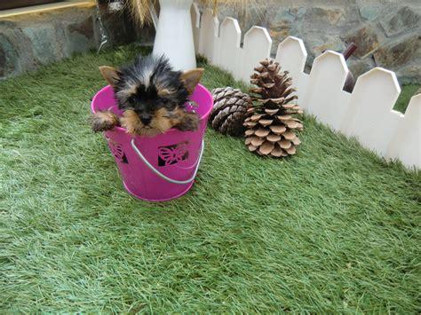 perro yorkie precio terrier web sobre los perros yorkie y design bild