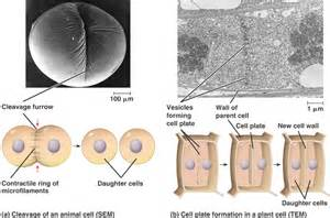 Cytokinesis in plant cells diagram cytokinesis animal vs plant