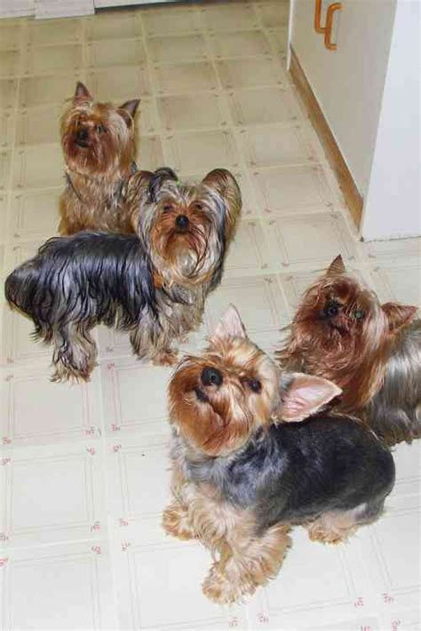 how to house a yorkie puppy terrier breed profile dogcast radio