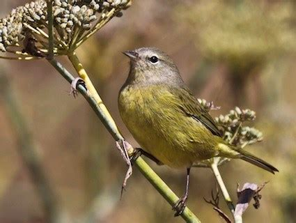 orange crowned warbler, identification, all about birds