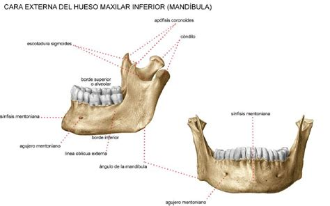 Mandibula anatomia pdf download