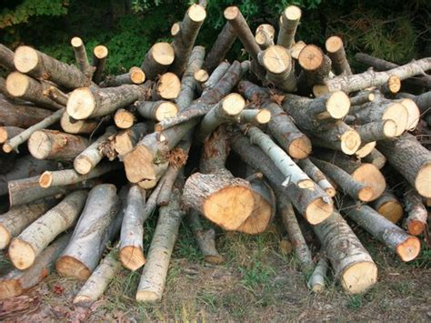 poplar firewood is it any good