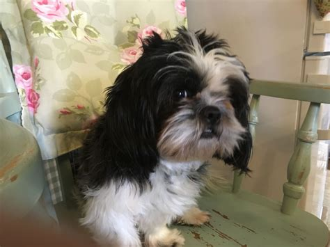 black white shih tzu black white pedigree shih tzu bolton greater manchester pets4homes