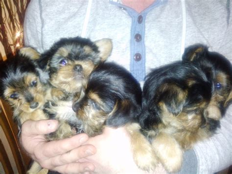 yorkie x puppies for sale terrier x puppies for sale birmingham west midlands pets4homes