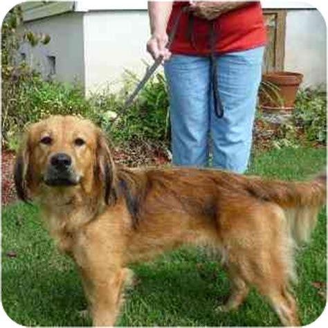golden retriever mini dachshund mix autumn adopted washington nc golden retriever dachshund mix