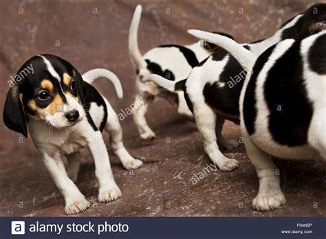 black and white beagle puppies four black and white beagle puppies walking around on brown backdrop stock photo