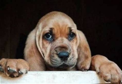 bloodhound puppies for sale in ga view ad bloodhound puppy for sale toccoa