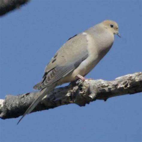 why does a mourning dove coo the best dove 2017