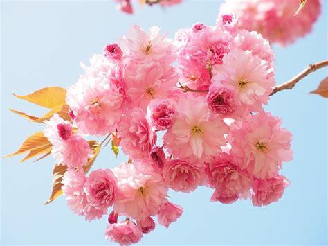 bellas flores amarillas y rojas mandarsaludoscom flores hermosas del cerezo im 225 genes y fotos
