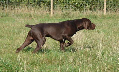 Pointer Lookup German Shorthaired Pointer Breed Guide Learn About The German Shorthaired Pointer