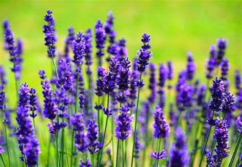 harga bibit bunga lavender terbaru mei 2018 hargabulanini