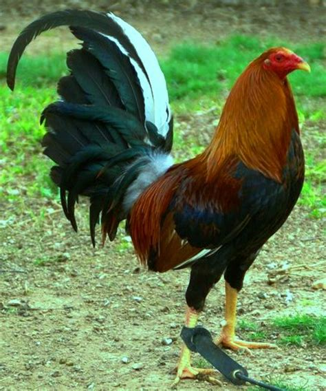 www imagenes de gallos finos de puerto rico ver fotos de gallos de pelea del mundo alimentos para