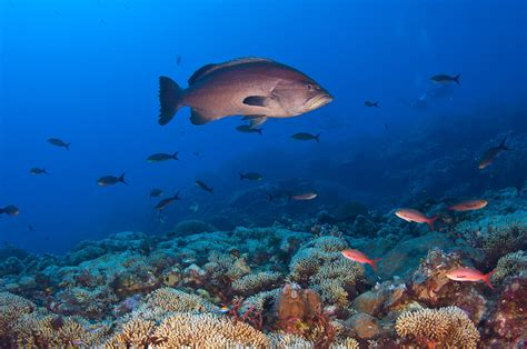 U S And Cuba To Cooperate On Sister Sanctuaries Office Flower Garden Reef