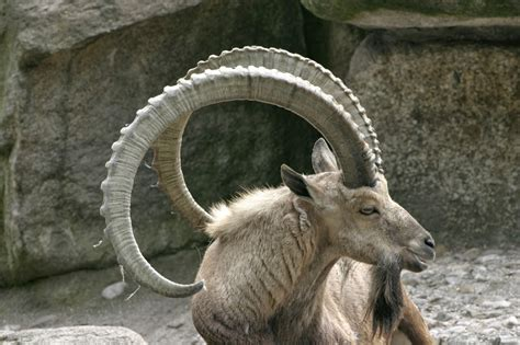 goats and rams image gallery ibex sheep