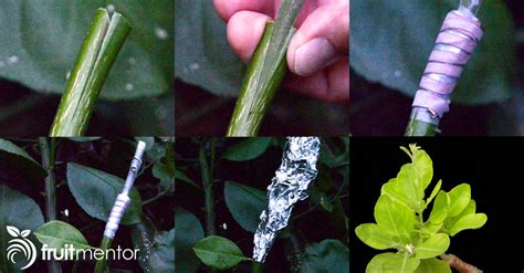 grafting fruit trees step by step grafting citrus trees cleft grafting a citrus cocktail tree