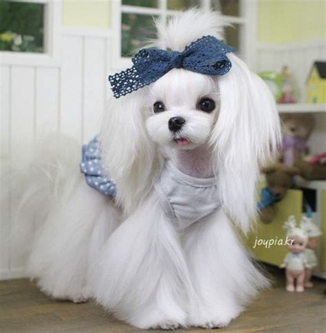 maltese haircut styles pictures 25 cutest maltese haircuts for your little puppy