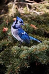 beautiful blue jay looks like a christmas ornament
