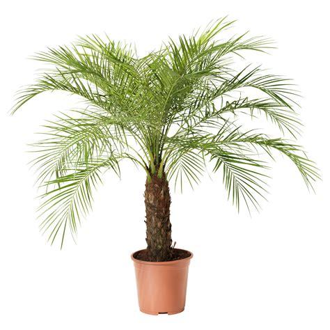 potted trees uk roebelenii planta gardening tips ideas