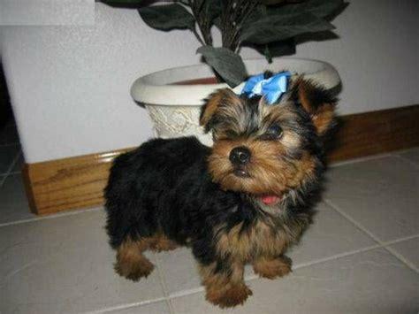 yorkie puppies abilene tx charming home raised yorkie puppies available 740 693 2210 animals abilene