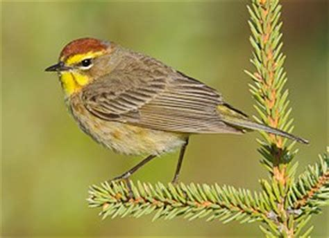 palm warbler identification all about birds cornell
