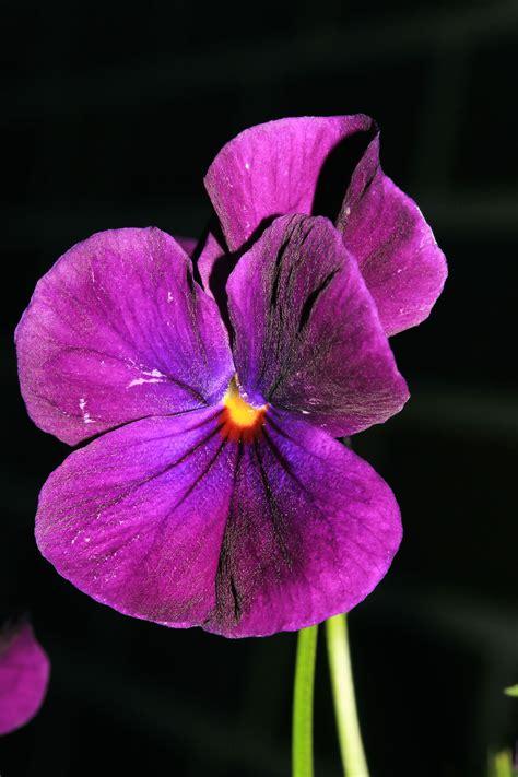 la flor purpura ficcion fotos gratis flor p 250 rpura p 233 talo florecer rosado