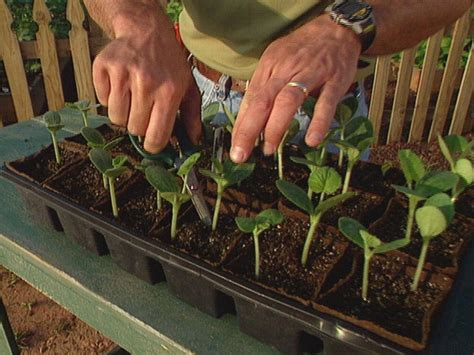 four hardest vegetables to grow from seed buy transplants how to start growing squash from seeds how tos diy