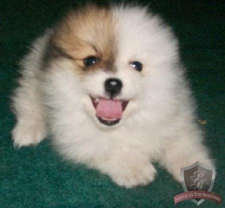 pomeranian white and brown 17 best images about pomeranians on puppys i want and black pomeranian
