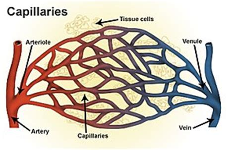 capillary bed definition arteriole wikipedia
