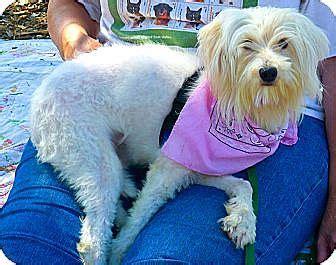 havanese sacramento sacramento ca poodle miniature havanese mix meet what a a for