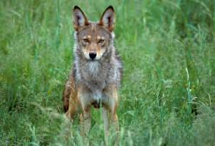 Adopt a red wolf wildlife adoption and gift center