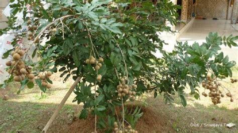 Bibit Kelengkeng Satu Jari bibit kelengkeng unggul bibit durian