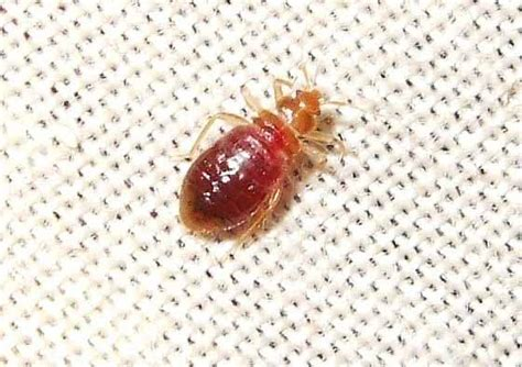 are bed bugs visible affordable bed bug detection method bed bug registry