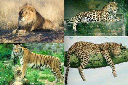 jaguars vs cheetahs cheetah vs leopard vs jaguar vs tiger vs e fashion