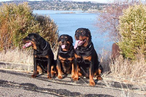 are rottweilers running partners izzy the rottweiler competes for show chionship richmond confidential