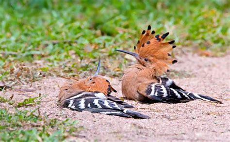 arunachala birds common hoopoe
