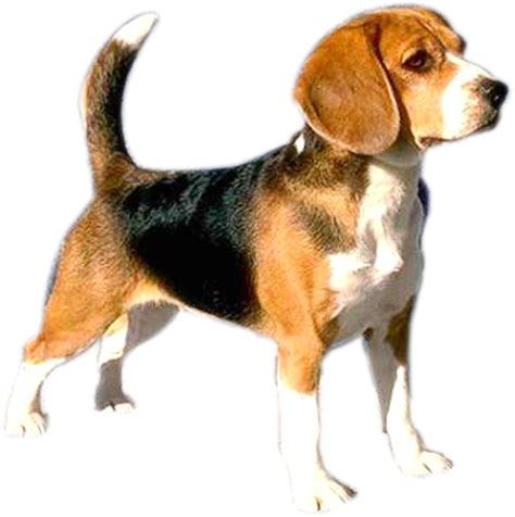 Mini Encyclopedia Dogs Explore The Wonderful World Of Dogs Ency Min beagle puppies for adoption bazar