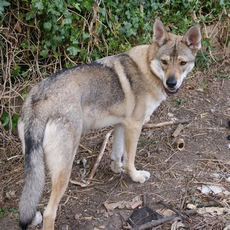 wolf looking dogs northern inuit breed 187 information pictures more