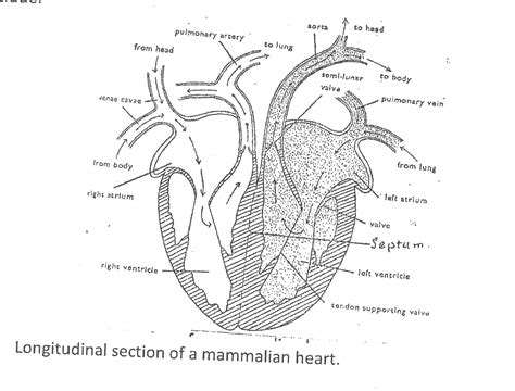 longitudinal section of the human heart draw a diagram showing pulmonary and systemic circulation