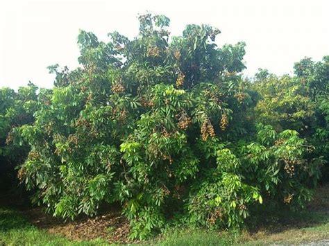 how to grow longan fruit trees longan tree dimocarpus longan kohala