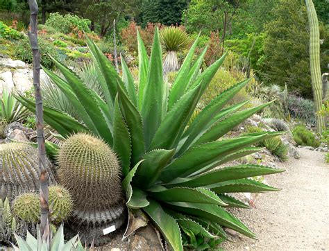 file agave gentryi 4 jpg wikimedia commons