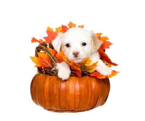 is turkey ok for dogs 13 tips to keep your safe on thanksgiving 187 albuquerque vetco